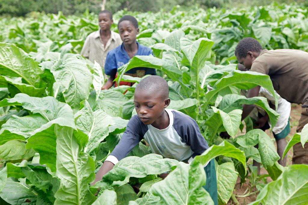 Kinder bei der Tabakernte in Sambia